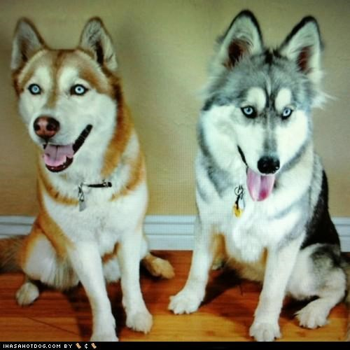 Goggie ob teh Week: Huskies See Into Ur Soul!