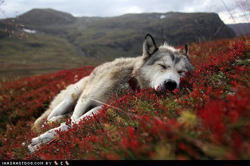 flowers,goggie ob teh week,hillside,husky,nap,nature,peaceful,sleep