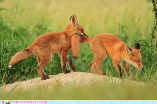 Babies,baby,blind leading the blind,follow,follow the leader,following,fox,foxes,kit,kits,leader,leading,squee