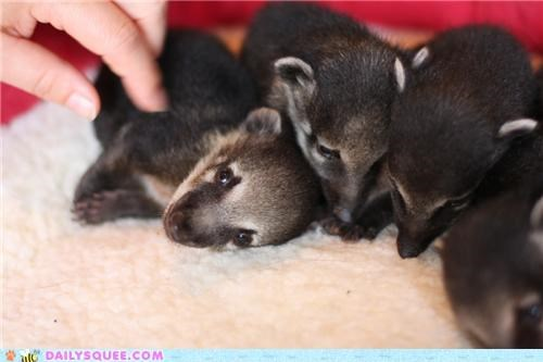 Squee Spree: Coatis Vs. Tanukis!
