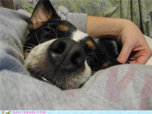 creative,dogs,human,owner,pregnant,reader squees,sleeping,snuggling,solution