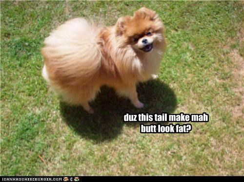 butt,fat,look,make,pomeranian,question,tail