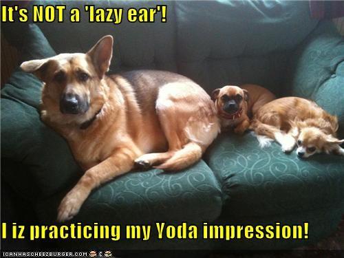 chihuahua,ear,german shepherd,impression,lazy,mixed breed,not,practicing,pug,yoda