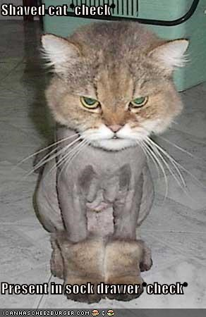Shaved cat *check*  Present in sock drawer *check*