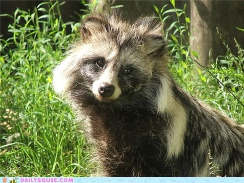Squee Spree: Head-Tilted Tanuki
