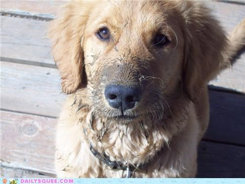 do want,dogs,golden retriever,love,mess,messy,mud,mud puddle,puddle,puddles,puppy,reader squees