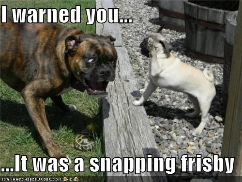 boxer,frisby,pug,shocked,snapping,surprised,warned