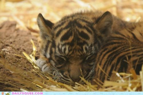 Tiny Tiger, Big Dreams