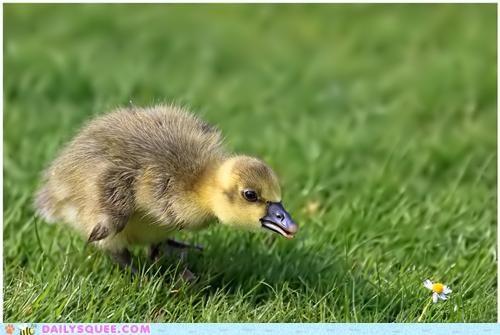 alliteration,alliterative,baby,daisy,duck,duckling