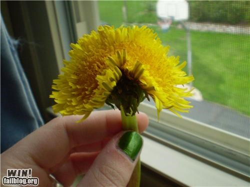 Double Dandelion WIN