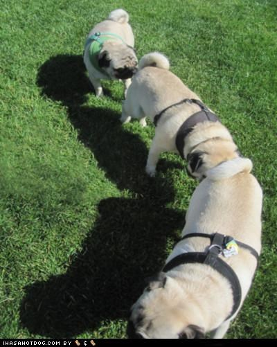 behind,chain,greeting,harnesses,pugs,sniff