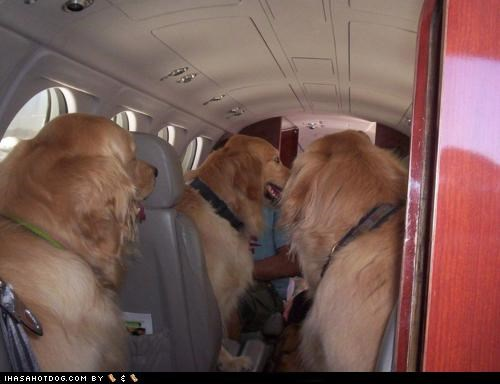 airplane,golden retriever,seats,Travel,trip