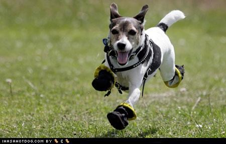 allergic to grass,allergies,jack russell terrier,Jax,special shoes