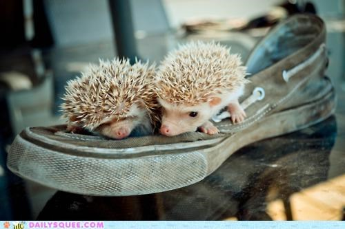 There Were Two Young Hedgies Who Lived on a Shoe...