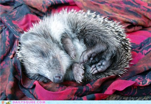 Squee Spree: Hedgehogs Vs. Echidnas!
