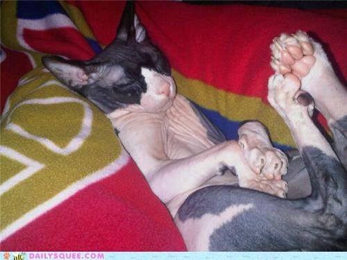 adorable,asleep,cat,lazy,nekkid,reader squees,sleeping,sphynx