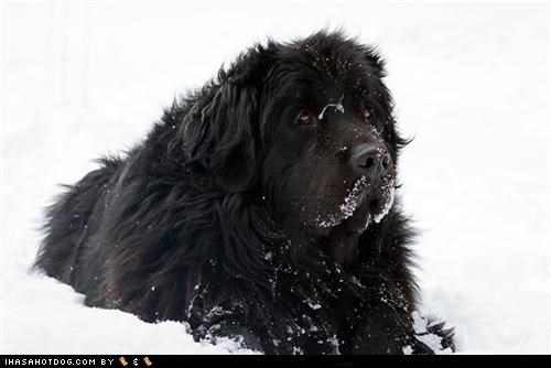 frozen face,goggie of teh week,newfoundland,outdoors,snow,snowy