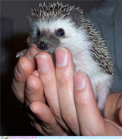 Squee Spree: Hedgehog? More Like Handhog!