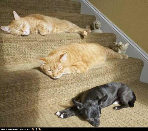 Cats,chihuaha,friends,kittehs r owr friends,nap attack,nap time,sleeping,stairs