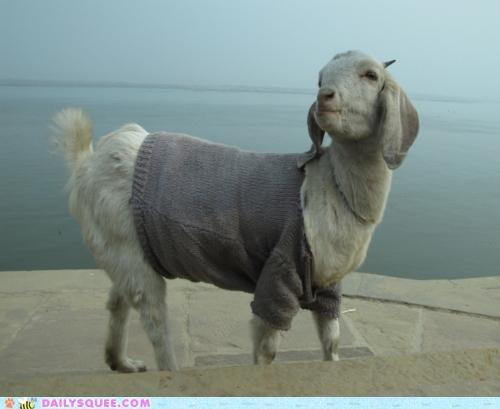 acting like animals,comfortable,fashion,goat,lamb,lolwut,sheep,stylish,sweater,wool