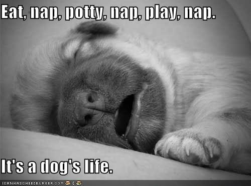 Eat, nap, potty, nap, play, nap.  It's a dog's life.