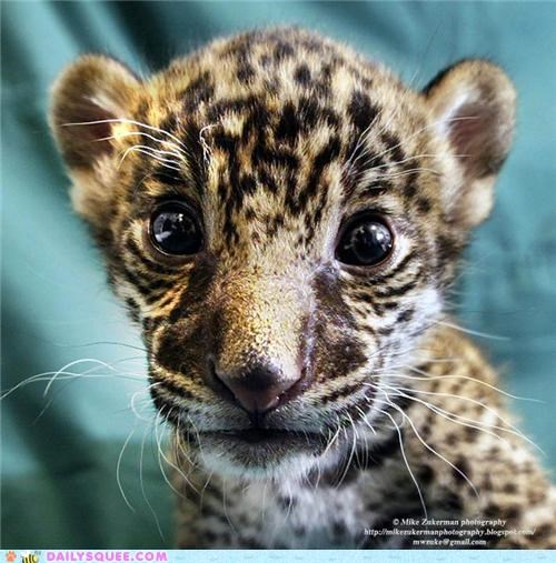 Squee Spree: Jaguars Vs. Leopards!