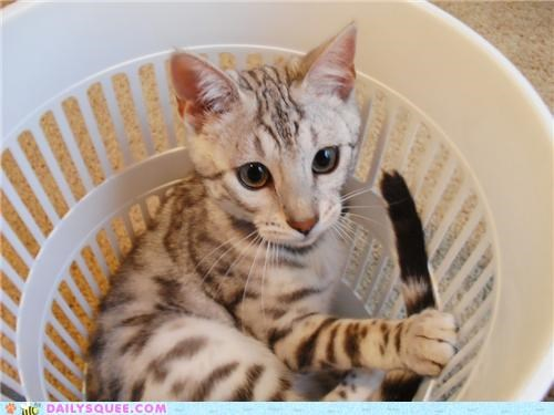 basket,bengal cat,cat,cute,kitten,reader squees,singing,sitting,song,spot