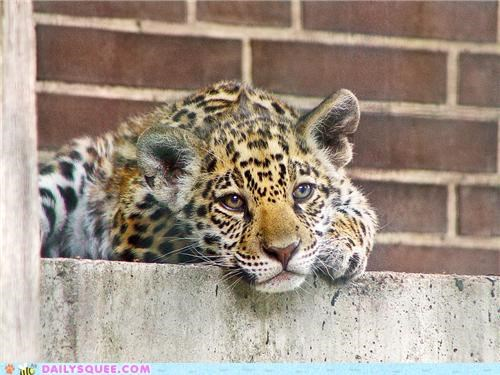 Squee Spree: Thinking Jaguar Thoughts