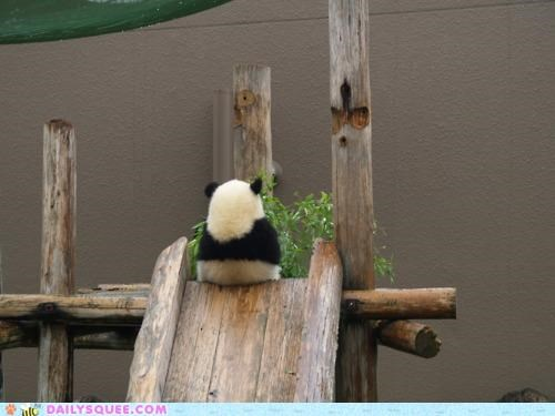 acting like animals,adrenaline,adventure,adventurous,backwards,panda,slide