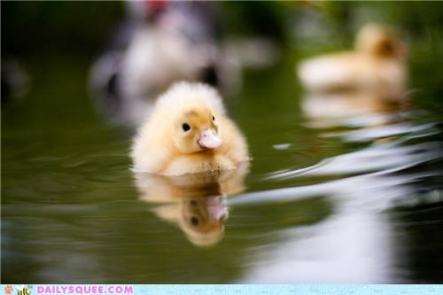 Squee Spree: Ducklings Vs. Goslings!