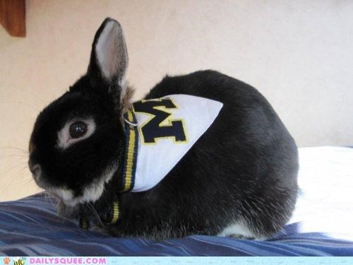 bunny,fan,hybrid,rabbit,reader squees,sports,team,wolverine