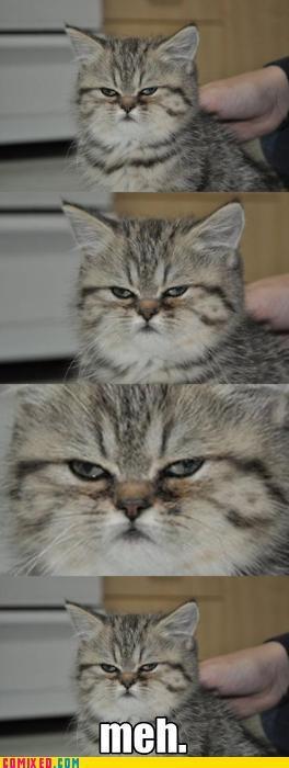 animals,attitude,cat,meh,Tenso,uninterested