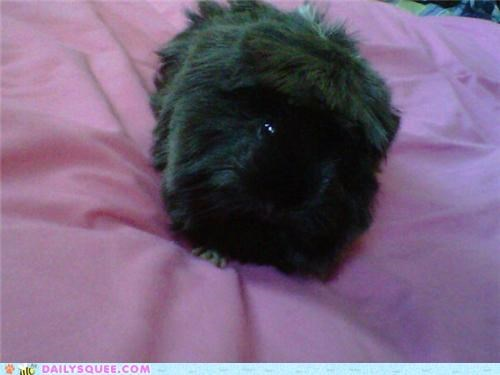 breakfast,carrot,carrots,do want,guinea pig,morning,noms,reader squees,waking up