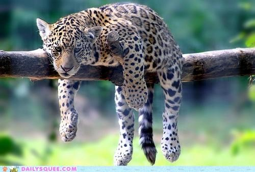 baby,cub,hanging,hot,jaguar,melting,sluggish,tired