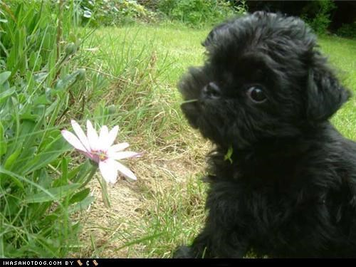 affenpinscher,cyoot puppeh ob teh day,flossing,flowers,outdoors,puppy