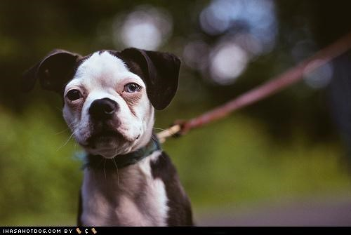 boxer,cyoot puppeh ob teh day,going for a walk,leash,mixed breed,puppy,stopped,walking