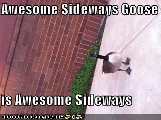Awesome Sideways Goose  is Awesome Sideways