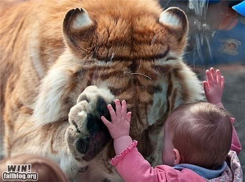 high five,kid,tiger,zoo