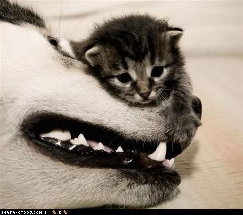 friends,husky,kittehs r owr friends,kitten,sweet