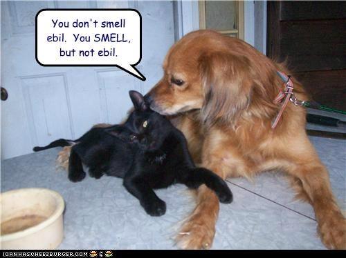 cat,curious,evil,friends,golden retriever,smell,smelly