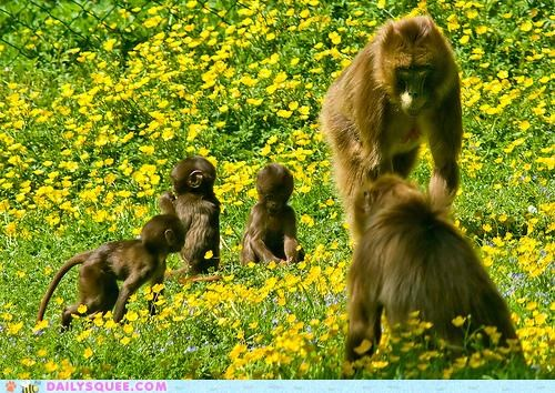 Babies,baboon,baboons,baby,family,flowers,frolicking,outing,parents,picnic