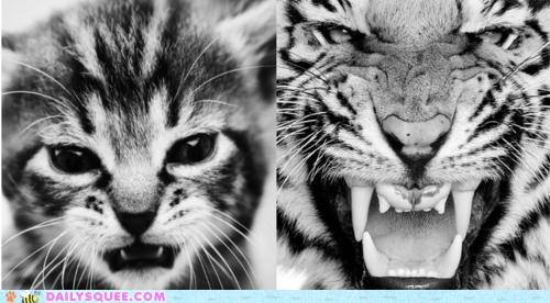 acting like animals,cat,Cats,idols,impersonating,juxtaposition,kitten,tiger,TLL