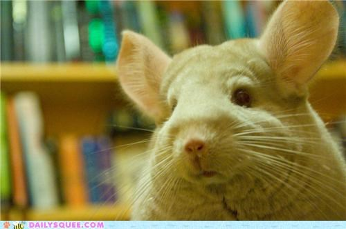 chinchilla,domination,evil,honey,name,plotting,reader squees,sweeter,world