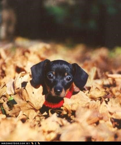 cyoot puppeh ob the day,found you,leaves,outdoors,pile of leaves,puppy,whatbreed
