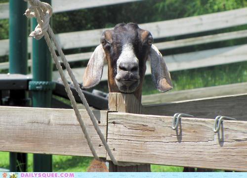 acting like animals,angle,brace,fence,goat,illusion,neck,post,stiff,stiffest
