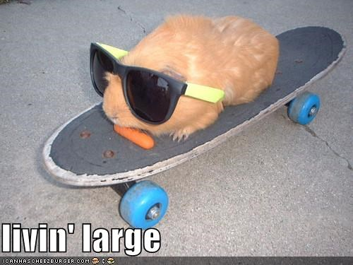 animals,awesome,cool,gangsta,guinea pigs,I Can Has Cheezburger,sunglasses