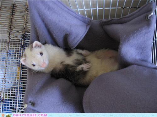 ferret,fleece,hammock,lazy,lovely,reader squees,resting