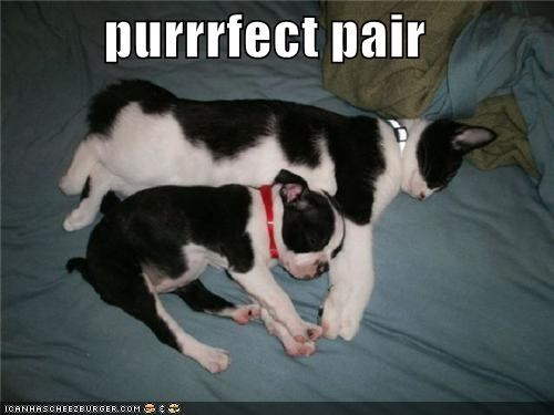 best friends,black and white,boston terrier,cat,friends,love,matching,sleeping