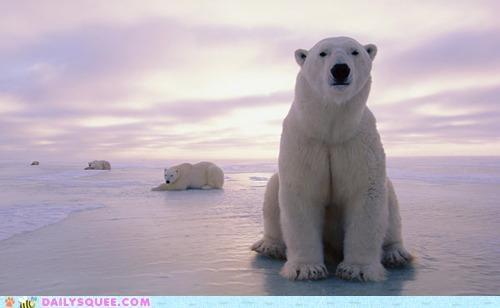 acting like animals,bear,bears,bipolar,hogging,moping,photogenic,polar bear,polar bears,pun,show,spotlight,stealing