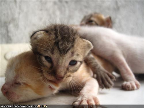 cyoot kitteh of teh day,newborn,on top,pileup,tiny